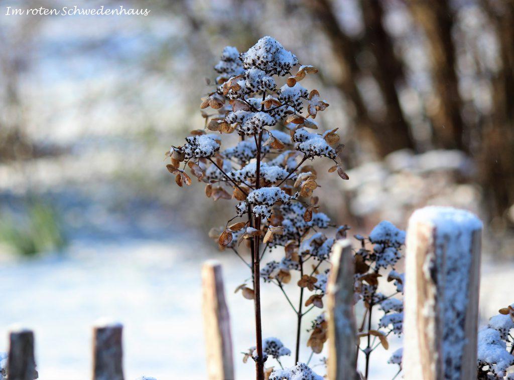 Hortensien mit Schneehaube am Staketenzaun