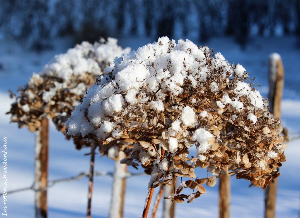 Hortensien mit Schneehaube